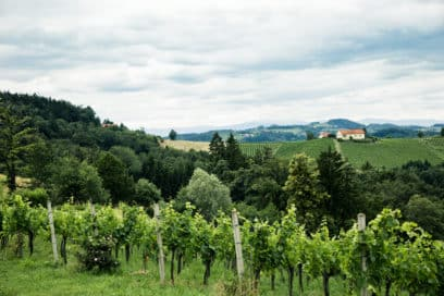 Weinreben mit grüner Landschaft