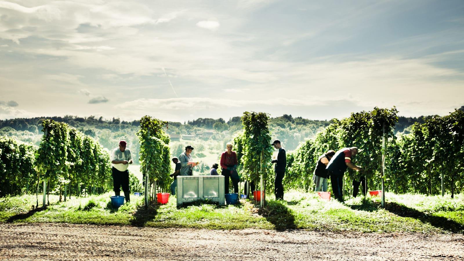 Erntehelfer bei der Lese in den Weingärten im Sommer
